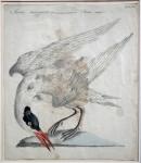 Rybák Velkozobý - Sterna maggiore