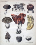 Jacob Xaver Schmuzer - Mushrooms