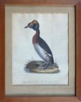 Johann Carl Bock - Potápka žlutorohá